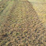 Tifway 419 Bermuda Aerating planting prep