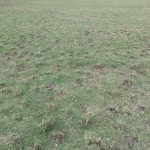 field aeration sprig planting prep